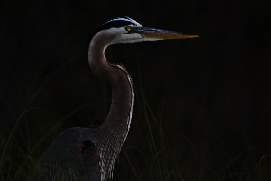 Great Blue Heron Photograph - Great Blue Heron In The Sea Oats by Dorothy Cunningham