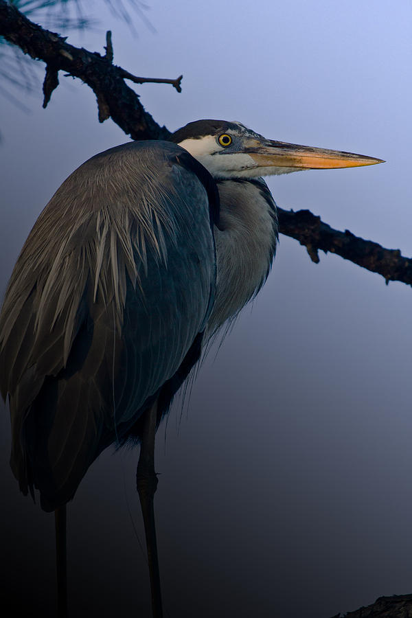 Great Blue Heron Photograph - Great Blue Heron In The Tree by Dorothy Cunningham