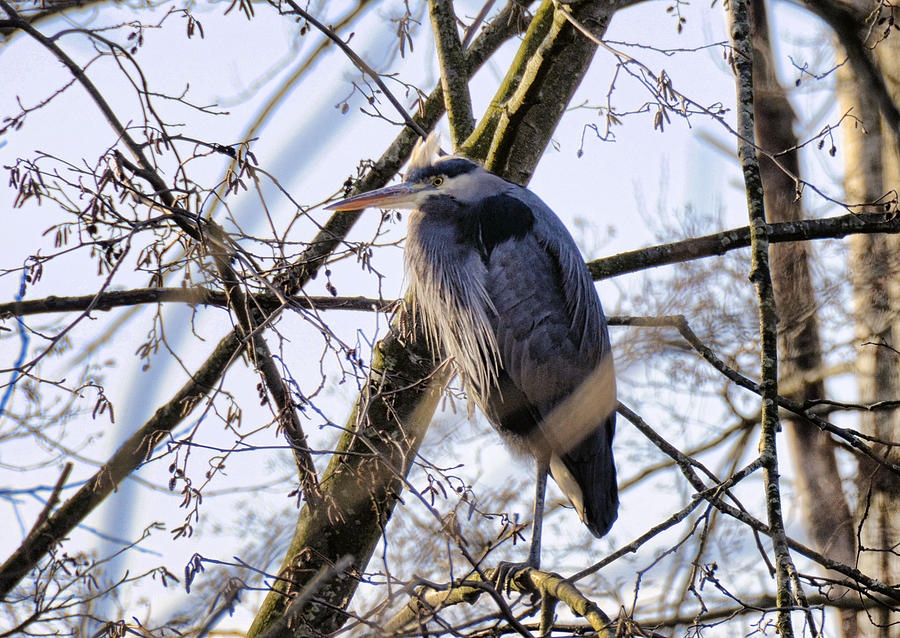 Bird Photograph - Great Blue Heron by Lawrence Christopher