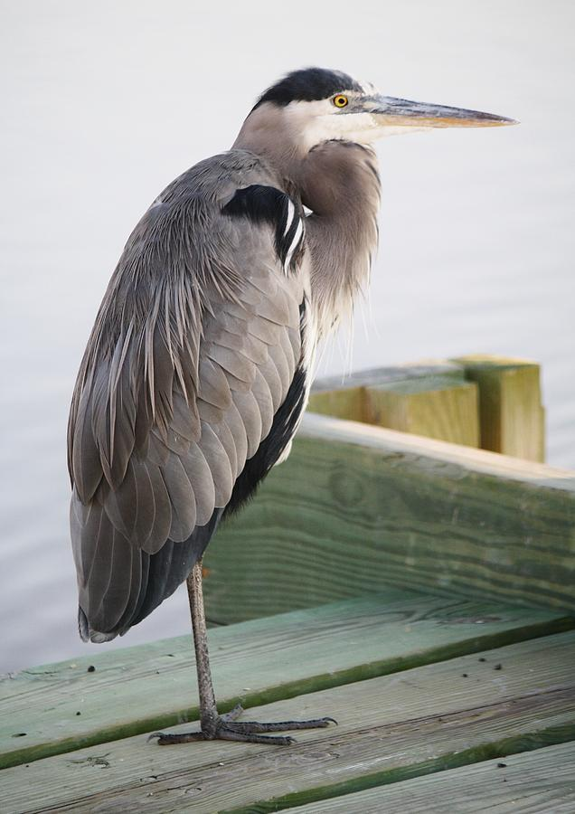 Great Blue Heron Photograph - Great Blue Heron On The Dock by Paulette Thomas