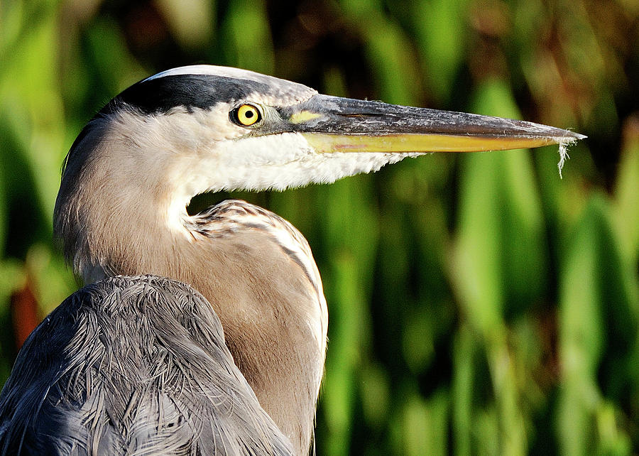 Great Photograph - Great Blue Heron Portrait by Bill Dodsworth
