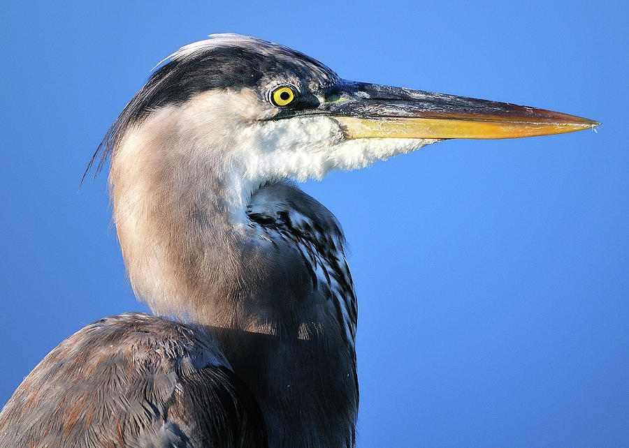 Great Photograph - Great Blue Heron Portrait Blue by Bill Dodsworth