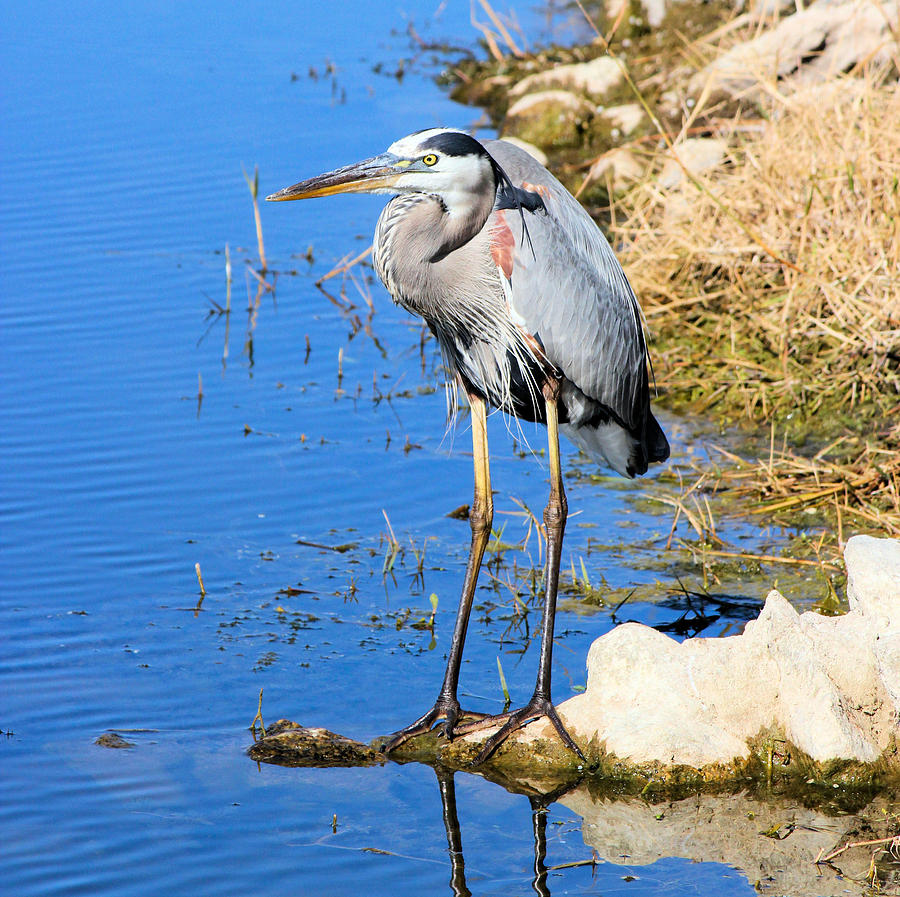 Great Blue Heron Photograph - Great Blue Heron Resting by Suzie Banks