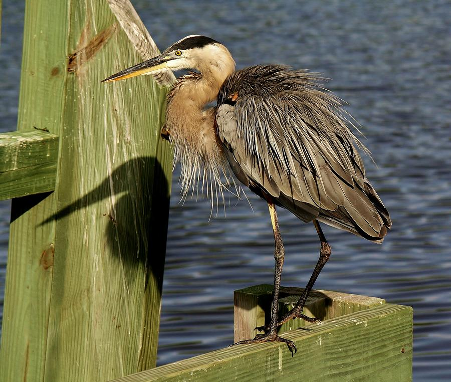 Great Blue Heron Photograph - Great Blue Heron Shadow by Paulette Thomas