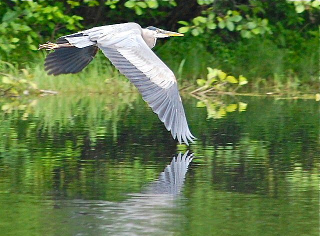 Great Blue Heron Wing Dip by Mary McAvoy