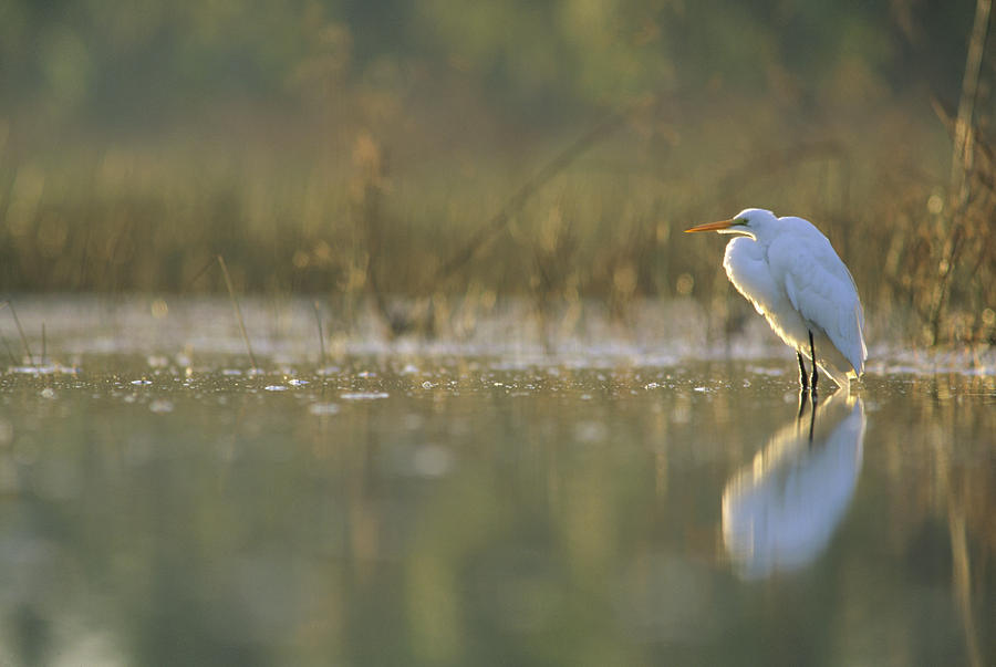 Great Egret Backlit In Marsh At Sunset Photograph by Tim Fitzharris