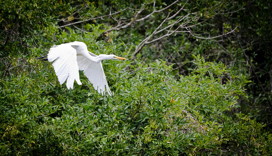 Egret Photograph - Great Egret by Mike Rivera