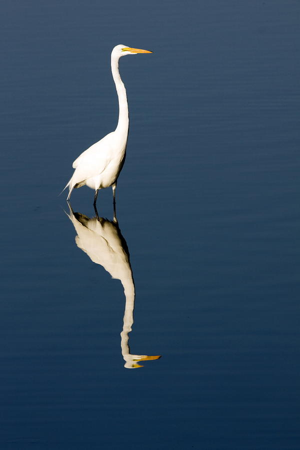 Large White Bird Photograph - Great Egret Reflected by Sally Weigand
