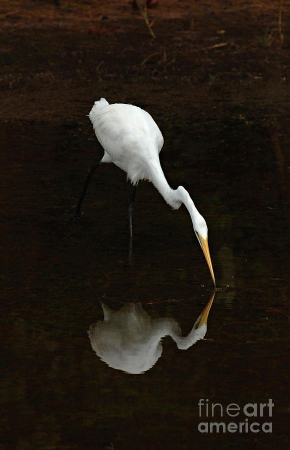 White Egret Photograph - Great Egret Reflection by Bob Christopher