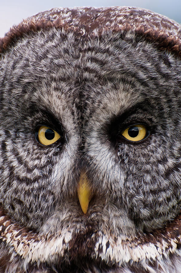 Great Gray Owl Photograph by Chad Graham