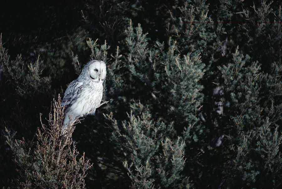 Mp Photograph - Great Gray Owl Strix Nebulosa In Blonde by Michael Quinton