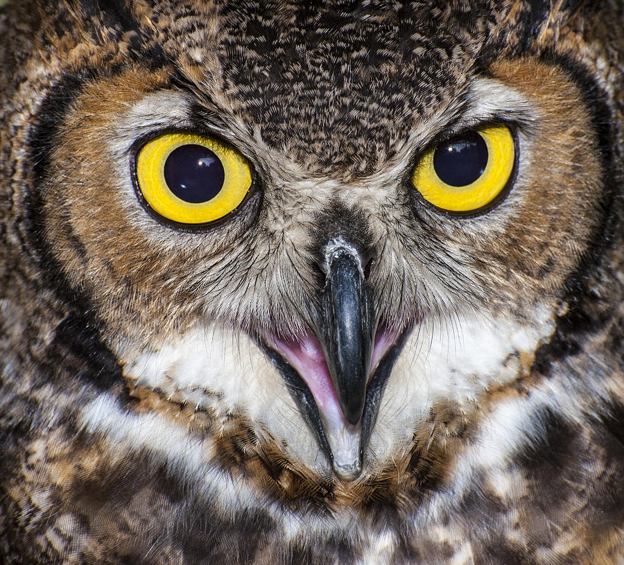 Owl Photograph - Great Horned Owl Close Up by Ray Downs