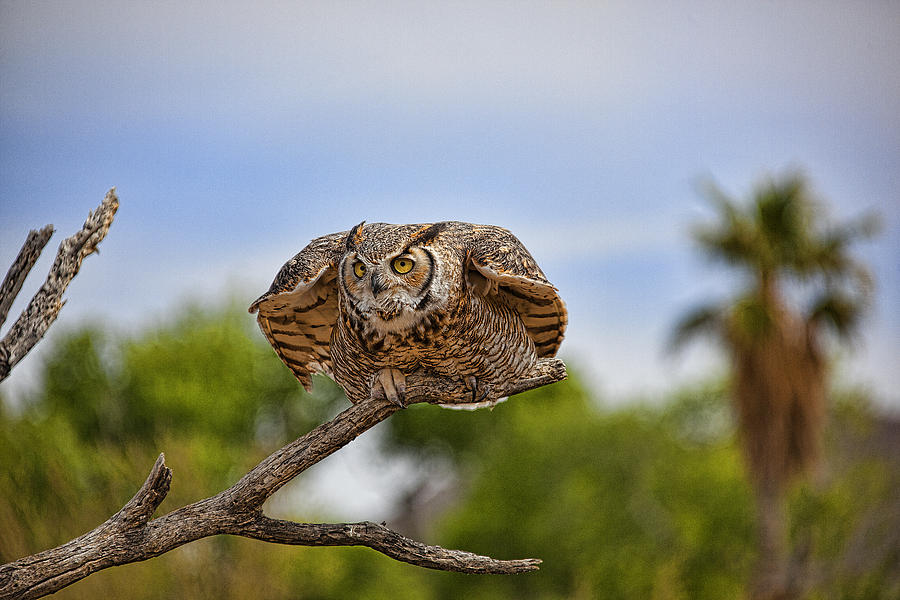 Birds Photograph - Great Horned Owl by Dan Nelson