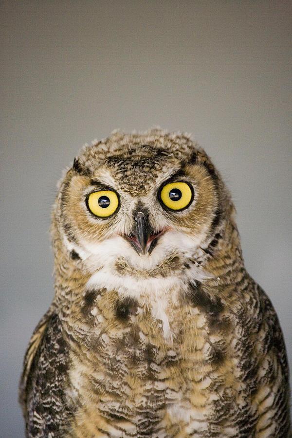 Light Photograph - Great Horned Owl by Henry Georgi Photography Inc
