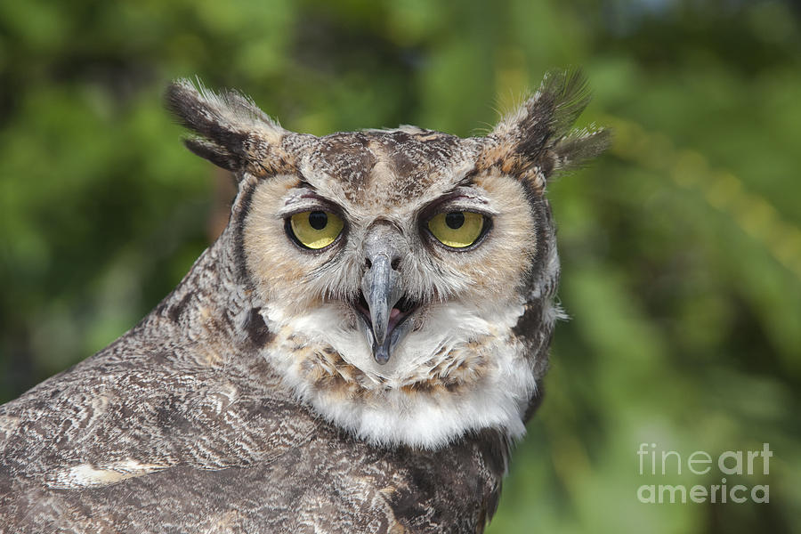 Wildlife Photograph - Great Horned Owl by Keith Kapple