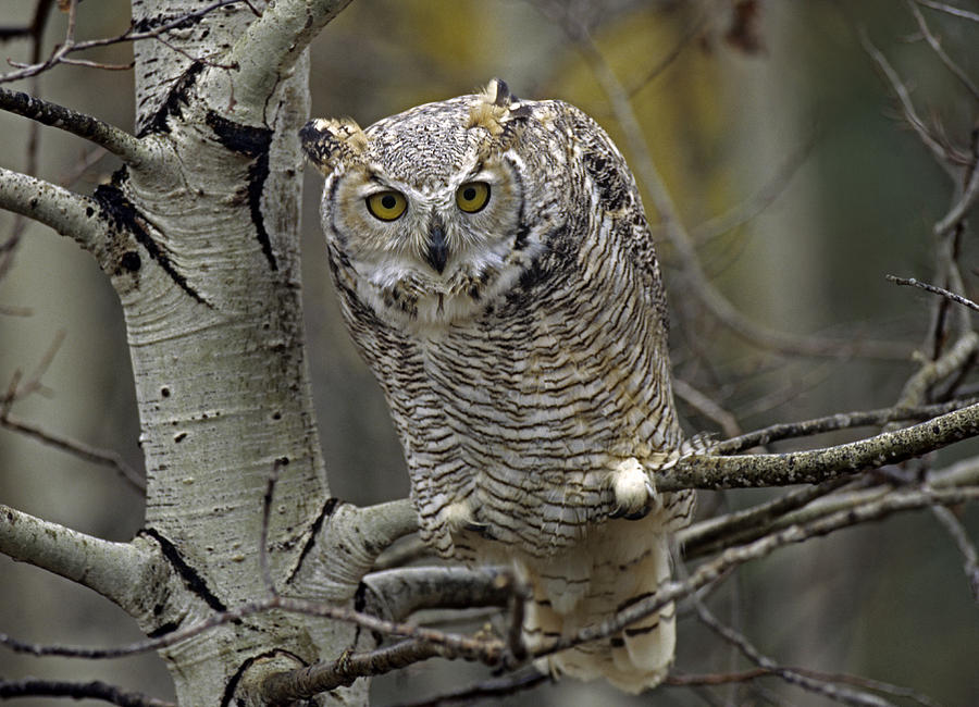 Adult Photograph - Great Horned Owl Pale Form Kootenays by Tim Fitzharris