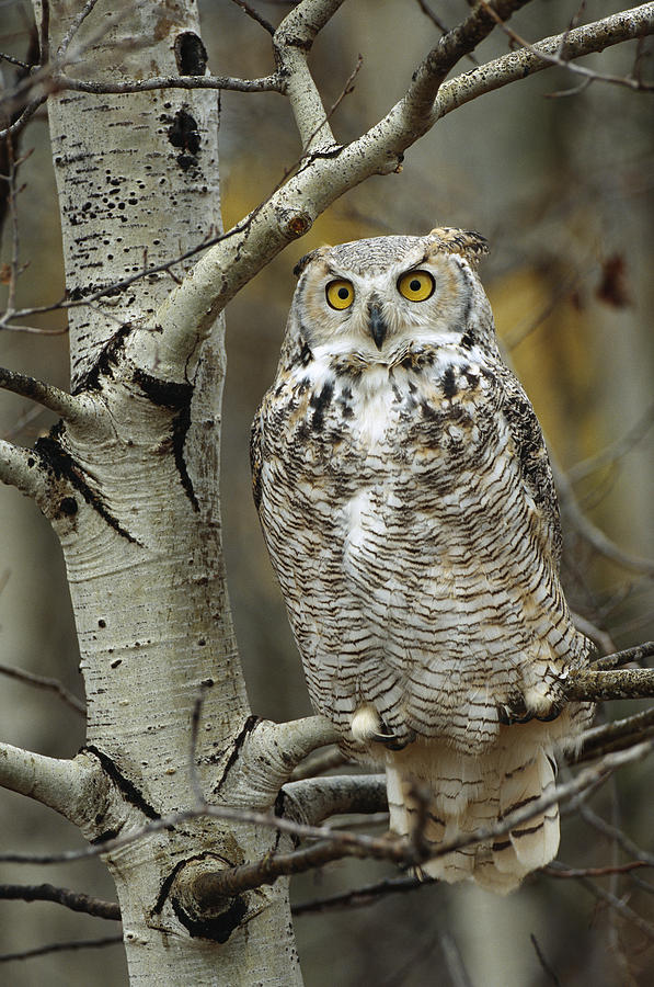 Great Horned Owl Pale Form Perched Photograph By Tim