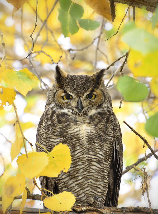 Great Horned Owl Photograph - Great Horned Owl  by Saija  Lehtonen