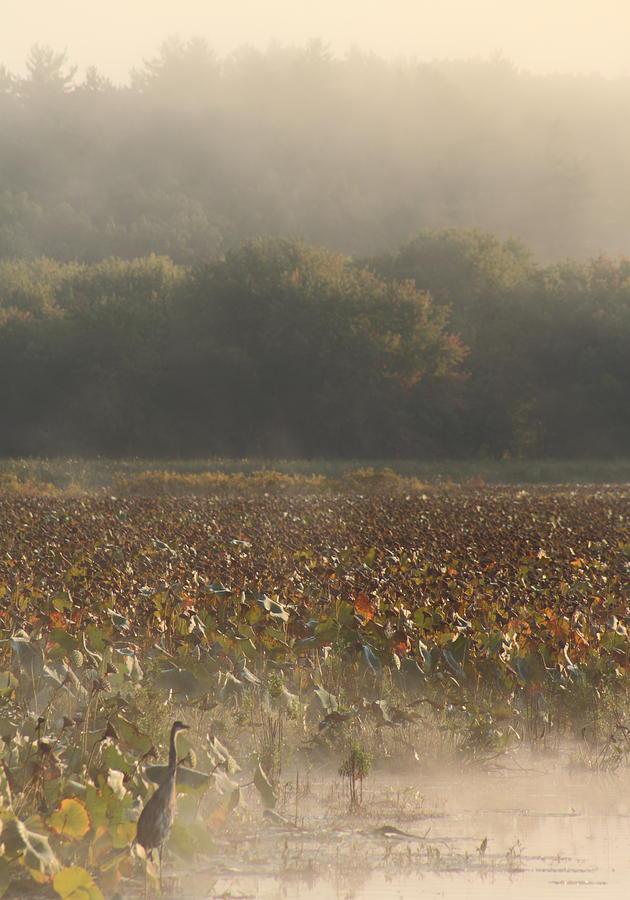Wildlife Photograph - Great Meadows National Wildlife Refuge Blue Heron Fog by John Burk