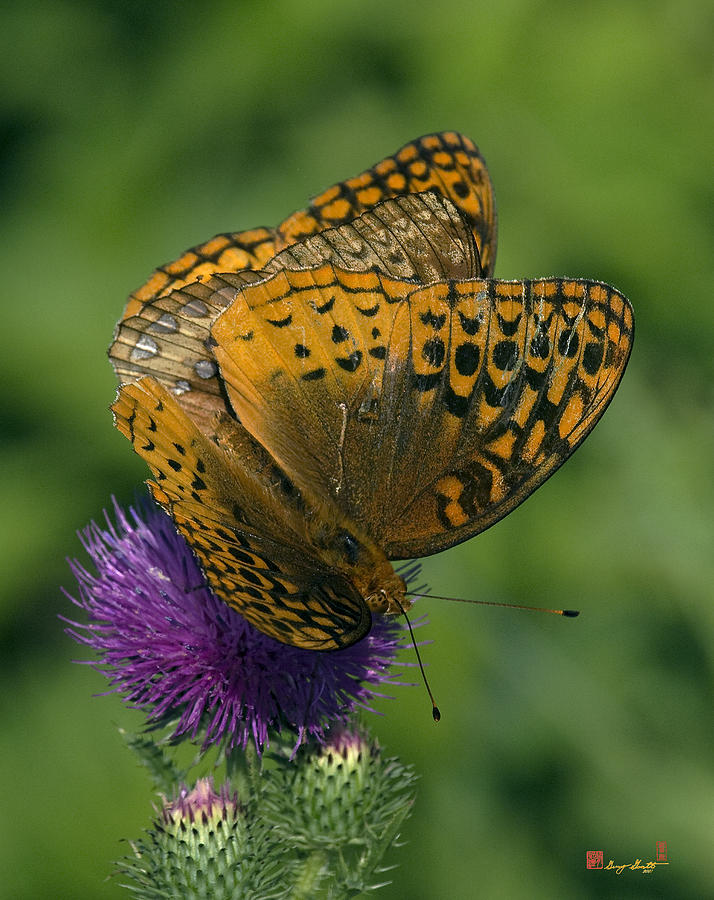 Nature Photograph - Great Spangled Fritillaries On Thistle Din108 by Gerry Gantt