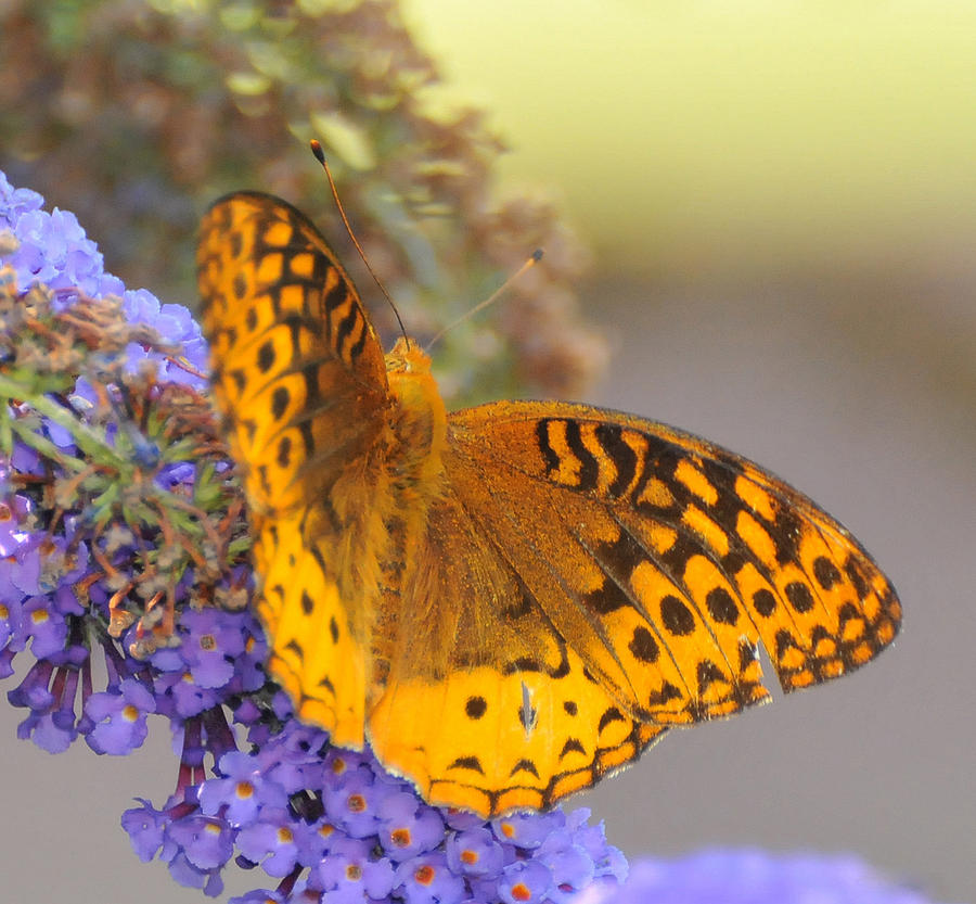 Butterfly Photograph - Great Spangled Fritillary Butterfly by Paul Ward