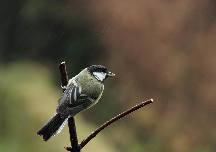Great Tit In The Rain Photograph by Peter Skelton