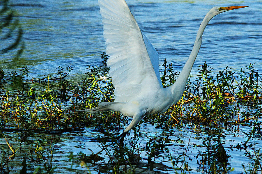 Bird Photograph - Great White And Blue by Roy Williams