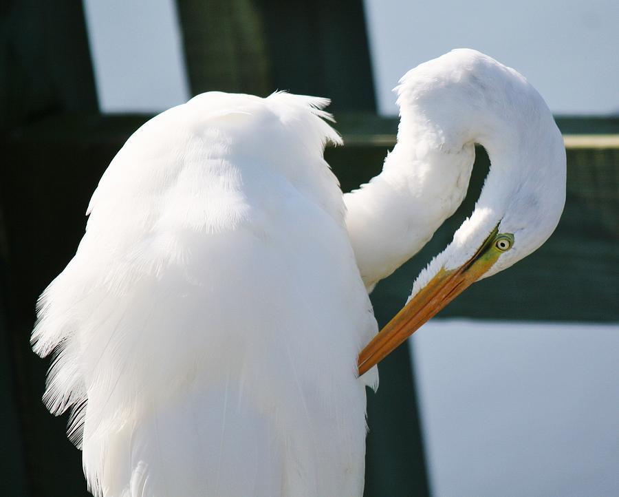 Great White Egret Photograph - Great White Egret Preening by Paulette Thomas