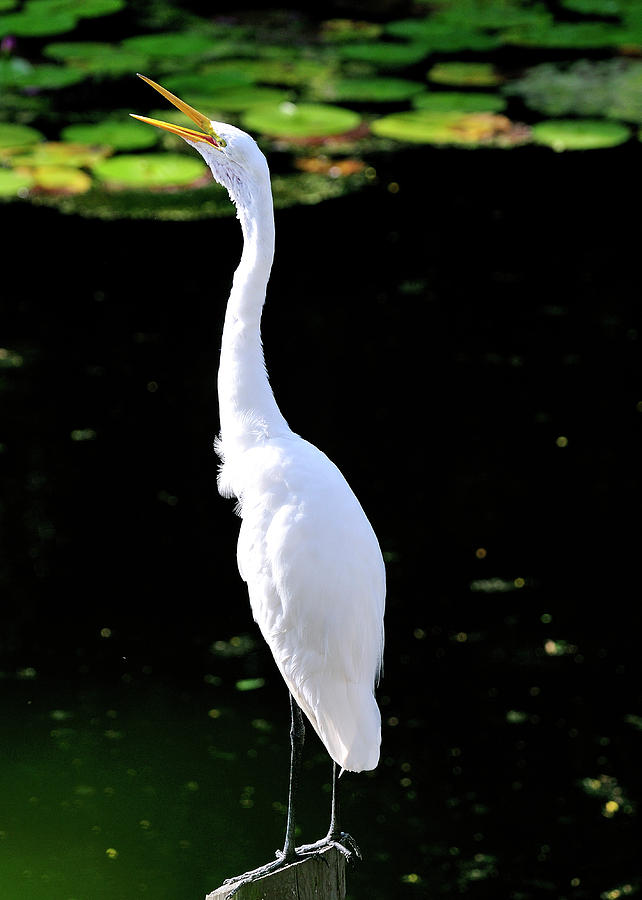 Great Photograph - Great White Egret Singing In The Morning Light by Bill Dodsworth