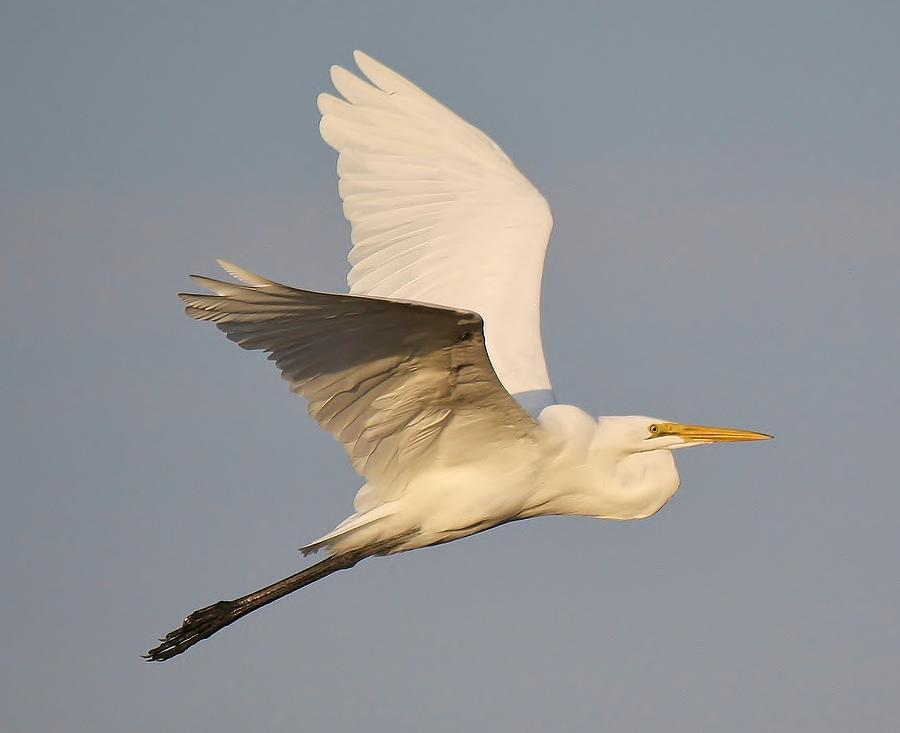 Great White Egret Photograph - Great White Egret Soaring by Paulette Thomas