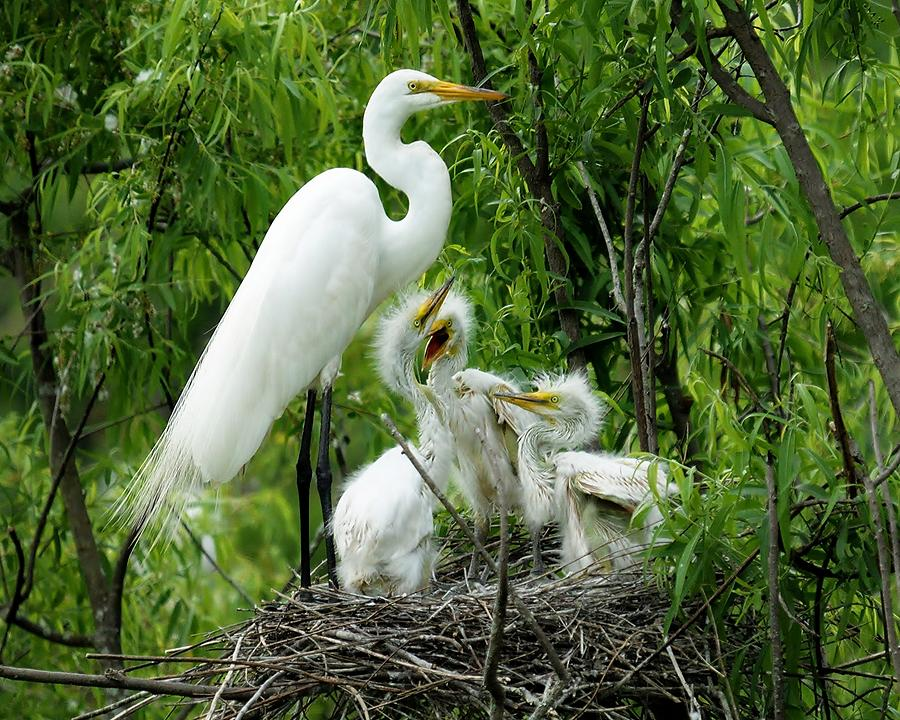Great White Egret Photograph - Great White Egret With Babies by Paulette Thomas