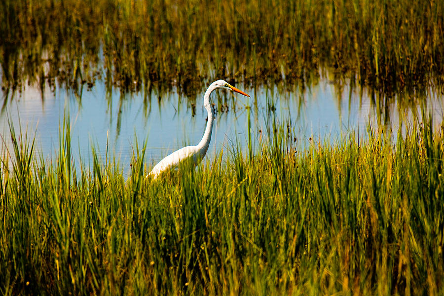 Birds Photograph - Greater Egert by Michael Ray