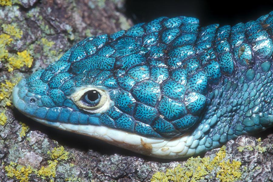 Green Arboreal Alligator Lizard Photograph By Dante Fenolio