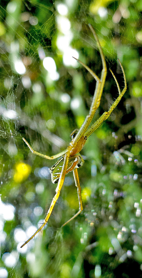 Argiope Spider Photograph - Green Argiope  by Roy Foos