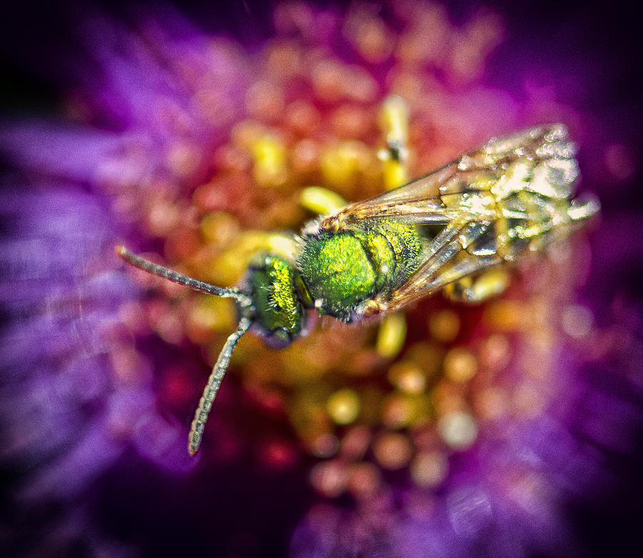 Green Photograph - Green Bee by Vicki Jauron