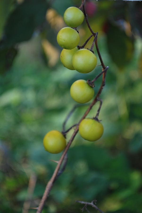 Green Photograph - Green Berry Stalk by Michelle Cruz