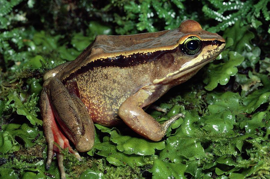 Green-eyed Frog Rana Vibicaria Photograph by Michael & Patricia Fogden