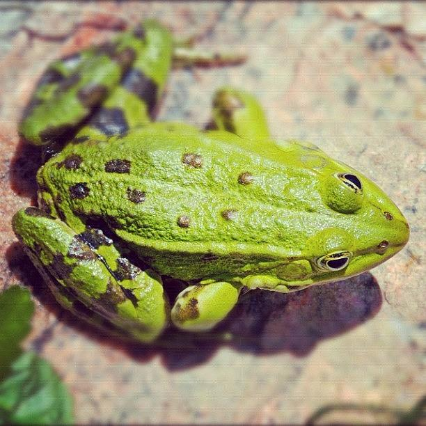 Frog Photograph - Green frog sitting on stone by Matthias Hauser