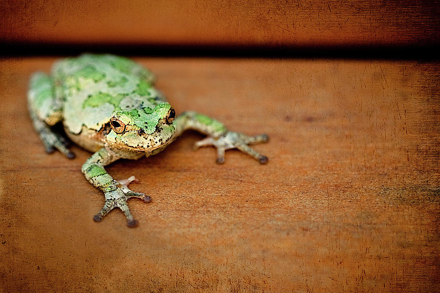 Horizontal Photograph - Green Frog With Gold Rimmed Black Eyes by R. Nelson
