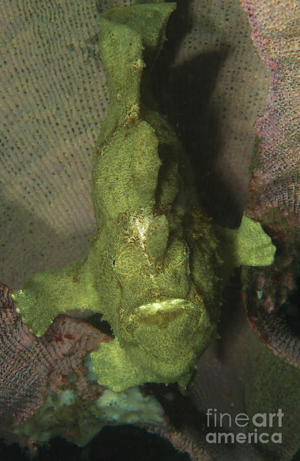 Frogfish Photograph - Green Frogfish In Sponge, North by Mathieu Meur