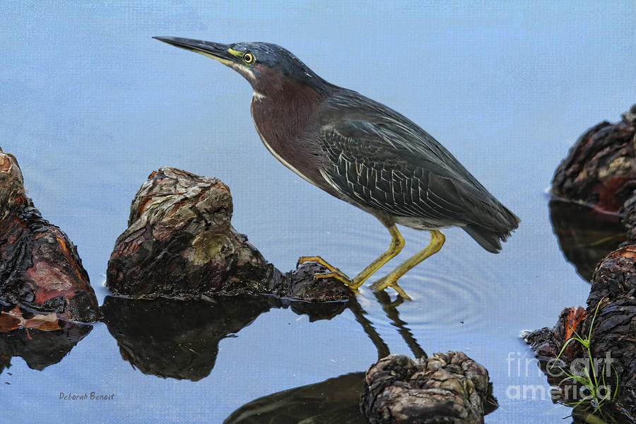 Green Heron Photograph - Green Heron Visiting The Pond by Deborah Benoit