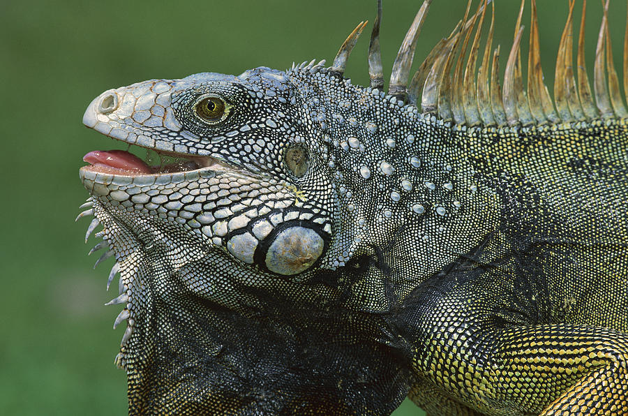 Green Iguana Barro Colorado Island Photograph by Christian Ziegler