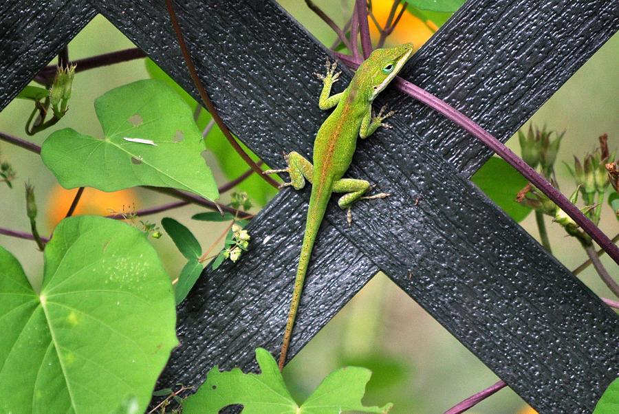Lizard Photograph - Green Lizard On Fence by Terri Albertson