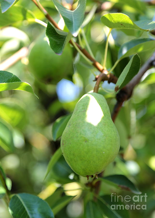 Pear Photograph - Green Pear by Carol Groenen