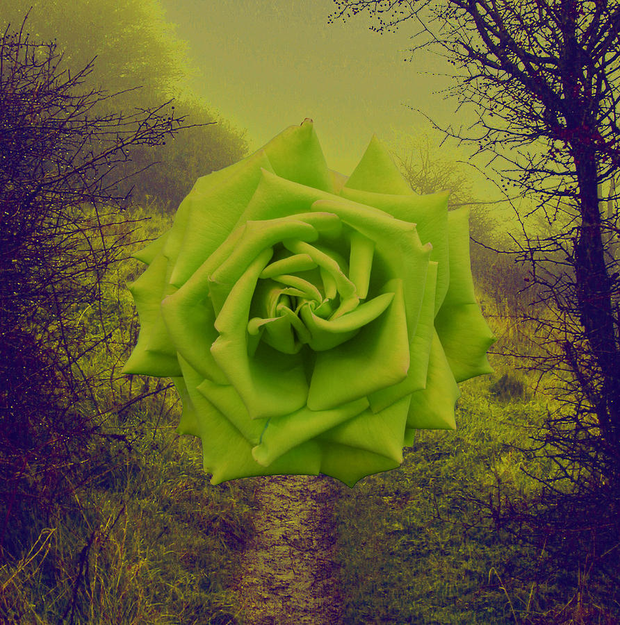 Rose Photograph - Green Rose by Nigel Chaloner