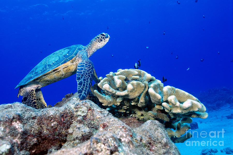 Green Sea Turtle Photograph - Green Sea Turtle by Andrew G Wood and Photo Researchers