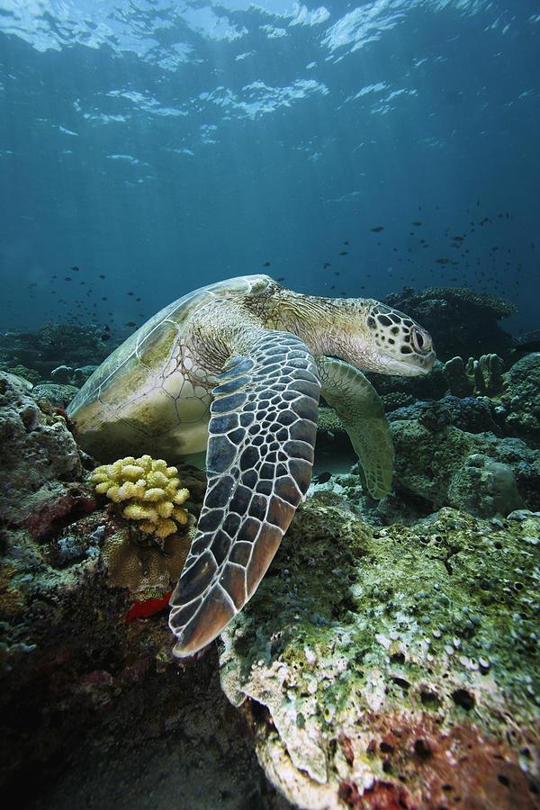 Mp Photograph - Green Sea Turtle Chelonia Mydas by Hiroya Minakuchi