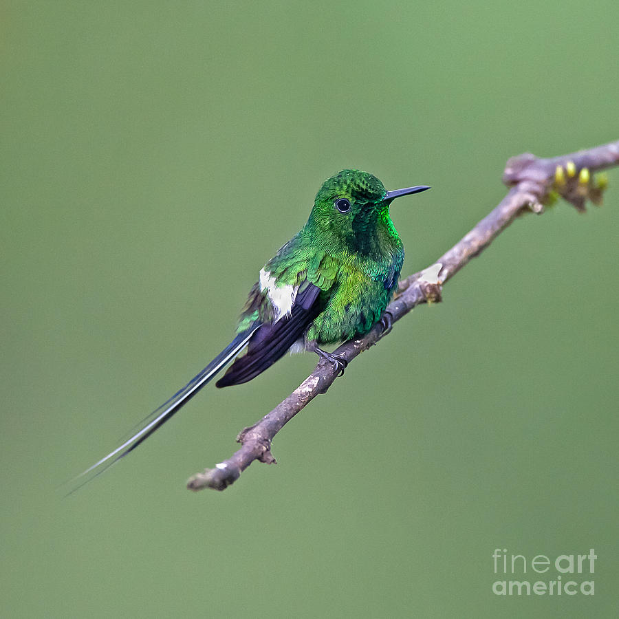 Animal Photograph - Green Thorntail by Jean-Luc Baron