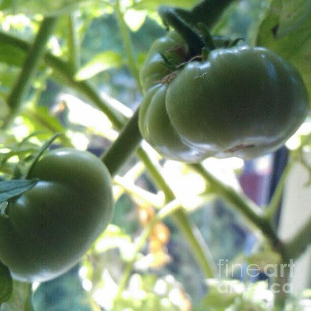 Tomatoes Photograph - Green #tomatoes #instaprints by Abbie Shores