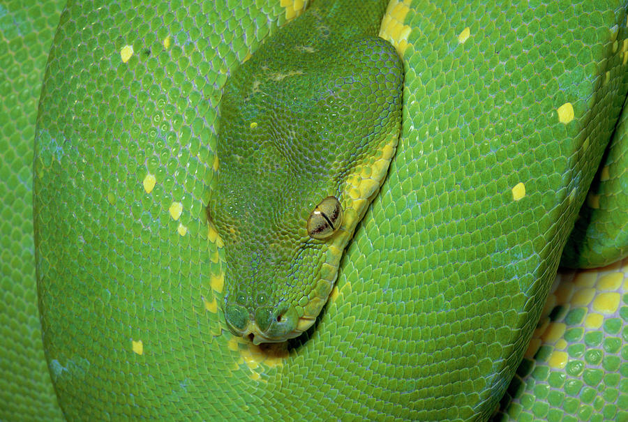 Green Tree Python Chondropython Viridis Photograph by Michael & Patricia Fogden